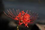 절정을 이룬 치명적 유혹의 야생화 꽃무릇 석산
