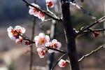 [봄소식] 봄꽃이 봄소식을 전합니다/죽풍원에 핀 홍매화