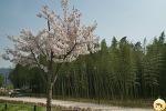 [울산] 태화강 벚꽃길 -  벚꽃비가 내려와~