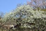 서산 가볼만한 곳 개심사 벚꽃 왕벚꽃 청벚꽃