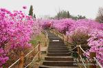 분홍빛으로 물든 원미산 진달래꽃 축제
