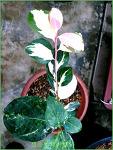 동백나무 무늬종 - 청풍분재야생화에 전시된 멋진풍경들 '첫번째'