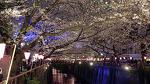 Cherry Blossoms at Meguro River (4K)