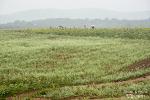 고창 학원농장을 가득 채운 새하얀 메밀꽃의 물결