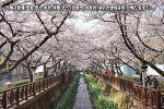 진해군항제 벚꽃 명소 추천 여행 코스 (경화역-여좌천-내수면생태공원-진해드림로드)