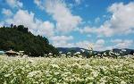 봉평메밀꽃축제에서 메밀꽃밭을 거닐며 특별한 추억을 만드세요