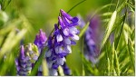 초여름 야생화 등갈퀴 꽃