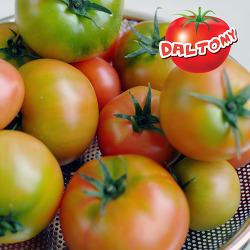 프리미엄 토마토 달토미 판매 시작