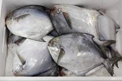 병어로 둔갑한 중국산 가짜 병어 구별하기(국산, 수입 수산물 구별법 #10)