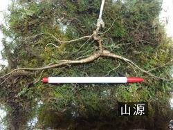 자연 야생 2대삼으로 소견된 산삼 사진 기록