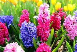 에버랜드 튤립 축제 속 숨어있는 봄꽃을 찾아라!