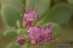세잎돌나물꽃