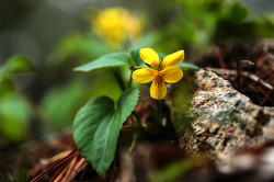 노랑제비꽃 150502
