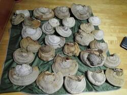 말굽버섯 감정 의뢰들어온 사진