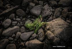 자갈밭에서 넘어간 풀 한포기. by 포토테라피스트 백승휴