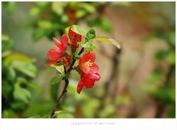 [4월 주홍꽃나무] 풀명자나무(애기명자나무) 이야기