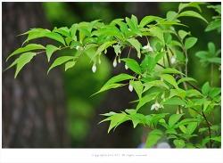 때죽나무(노가나무.족나무)효능- 인후통.치통.관절염/물고기잡을때/비누대용/유독성식물/공해지표식물/약용식물