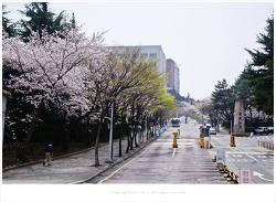 부산 동의대의 아름다운 벚꽃풍경