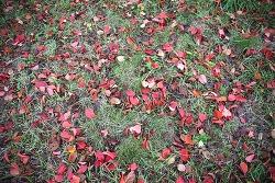 꽃보다 잎, 벚나무 단풍