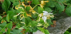 금은화(인동초꽃, 인동덩굴)