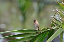 얼룩무늬납부리새