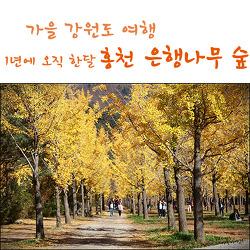 가을나들이, 홍천 은행나무 숲