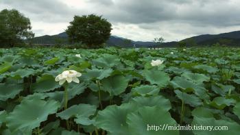 2017양평두물머리연꽃