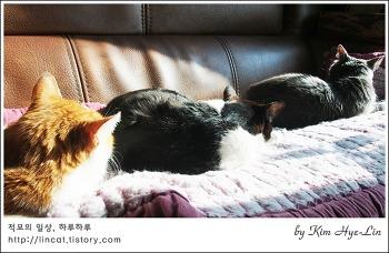 [적묘의 고양이]노묘 3종세트 냥모나이트 해제,봄 소식, 매화가 피었다오