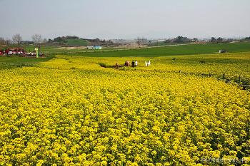 [고창여행] 거침없이 푸른 청보리밭과 노란 유채꽃, 고창 청보리밭축제