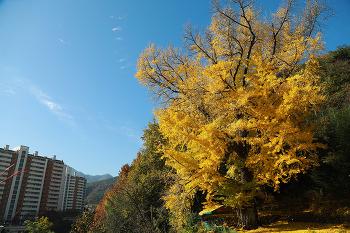 300여년된  마산 내서의 예사롭지 않은 은행나무! 보호수 지정은 어떨까?(창원명소)