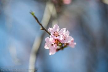 매화, 벚꽃