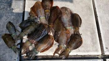 제주 무늬오징어 선상 낚시 조황