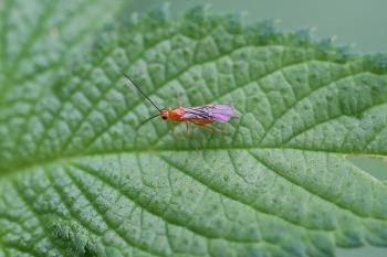 고치벌 일종 Braconidae