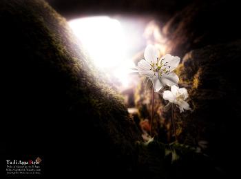 변산바람꽃...