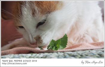 [적묘의 고양이]19살고양이,초롱 묘르신의 캣닙취향, 싱싱한 개박하가 왔어요.