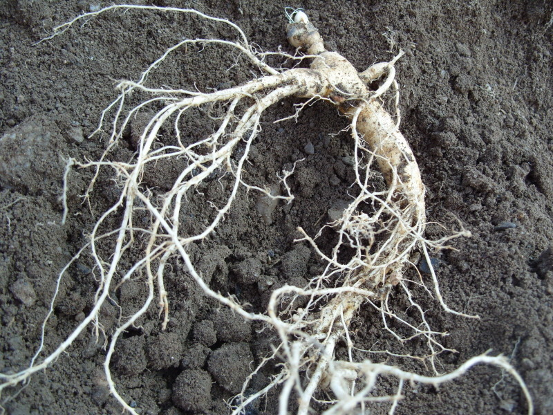 잔뿌리가 마르고 있다.