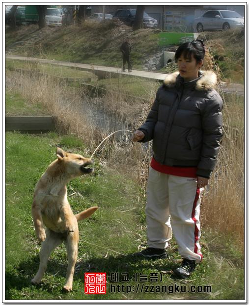 아내와 진돗개 대교