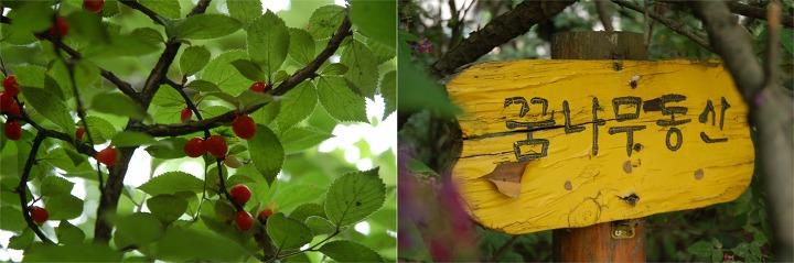 신기초등학교 앵두나무