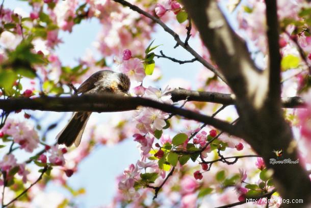 꽃사과 꽃따먹는 직박구리