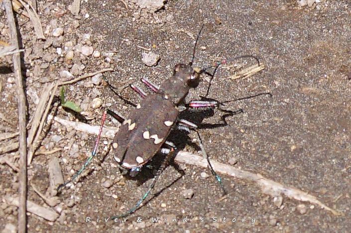 길앞잡이 tiger beetle, Cicindela chinensis