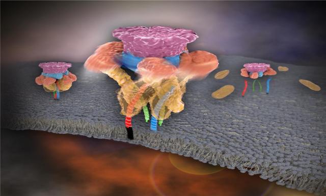 신경전달물질의 분비가 끝난 후 NSF가 SNARE 단백질 복합체를 한 번에 분해하는 모습. 분해된 SNARE들은 다시 신경전달물질 분비를 일으키는데 이용됨
