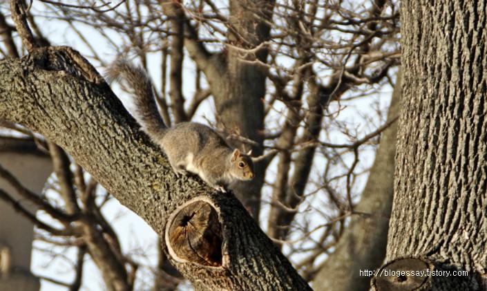 미국다람쥐-청설모-청서