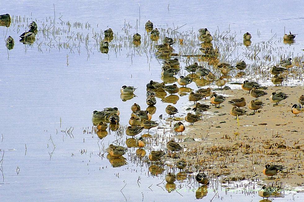 청둥오리와 물닭과 철새들