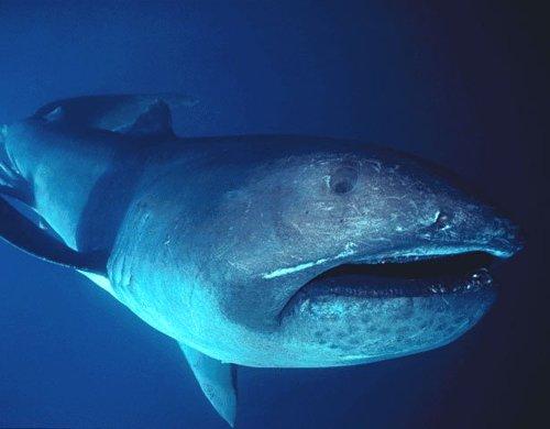 메가마우스 상어