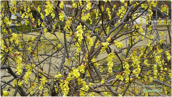 한국 특산 히어리꽃