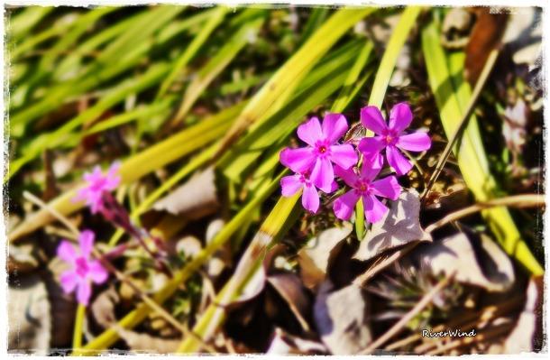 꽃잔디 꽃
