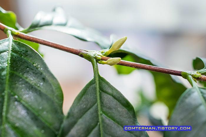 커피꽃 커피나무 커피꽃몽우리