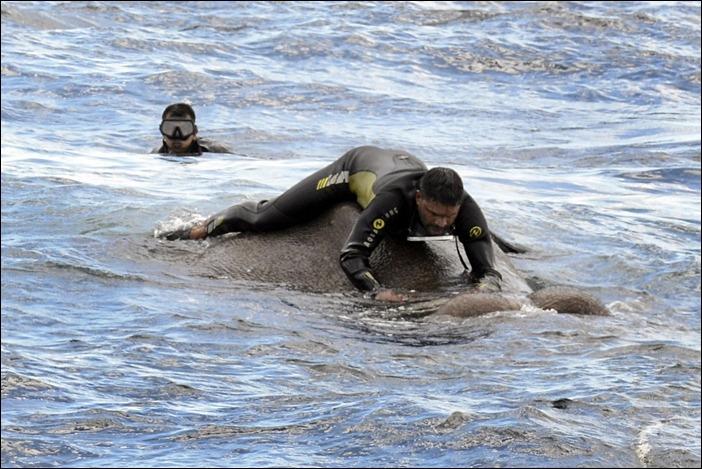 바다에 한가운데서 코 때문에 생존한 스리랑카 코끼리