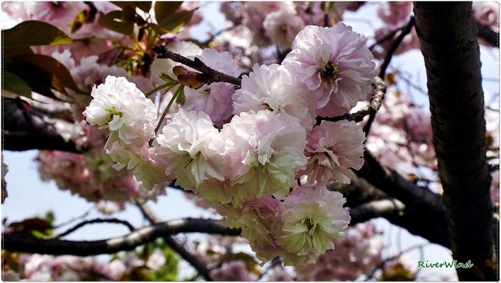 왕벚꽃, 접벚꽃, 접사쿠라, King cherry