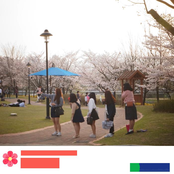 봉명동 유림공원 벚꽃